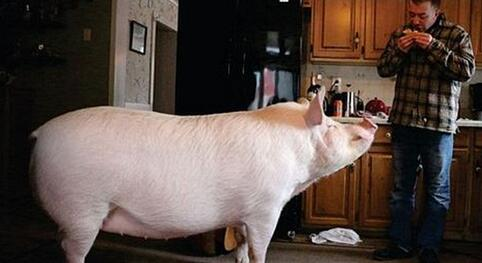 首页 加拿大 最新动态  宠物猪艾丝特   宠物猪艾丝特生活非常安逸